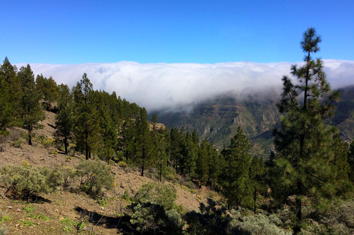 Central Gran Canaria clouds pine trees